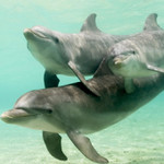 Amazing Dolphins HD